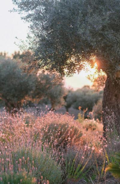 olivenbaum-sonnenuntergang-natur